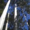 Tasmanian blue gum forest