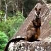 Brush-tailed rock-wallaby (Petrogale penicillata)