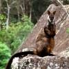 Brush-tailed rock-wallaby (Petrogale penicillata)