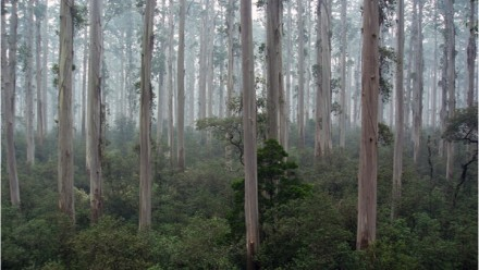 Tasmanian blue gum (Eucalyptus globulus) forest