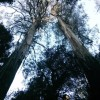Mountain Ash forest
